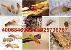 常平白蚁防治公司:一个巢居里的群白蚁称